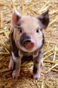 cria de cerdos organica